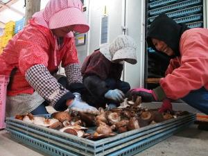 Japanerinnen beim Shiitake-Trocknen. Die Dame links ist die Ehefrau des Pilzbauern. (c) S. Blaschke