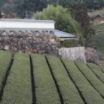 Teefelder von Uji bei Kyoto. (c) S. Blaschke